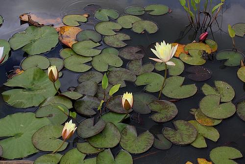 Un bassin du potager , avec ses Nymphea (4)