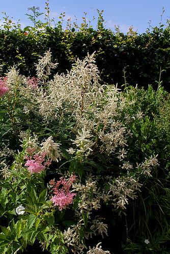Astilbes et Persicaria polymorpha