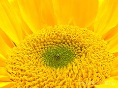 Sunflower Macro 031213