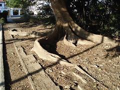 Racines reptiles / Reptile roots