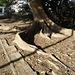 Racines reptiles /  Reptile roots - Mexique /22 février 2011.