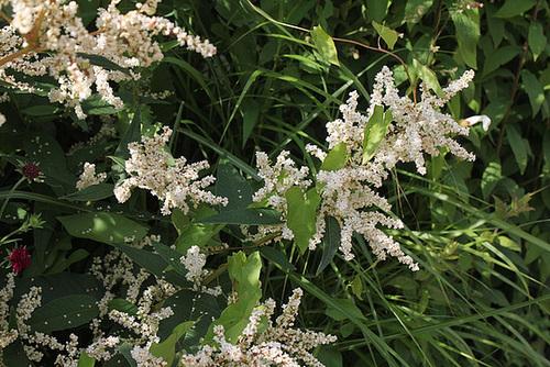 Persicaria polymorpha (2)