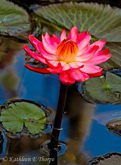 Water Lily 2 Eureka Springs 032613