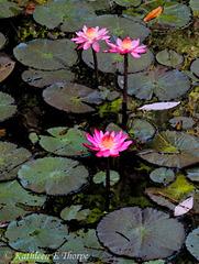 Water Lily Watercolor Eureka Springs 032613
