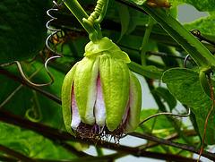 Flor de la Chinola (en Rep. Dominicana)