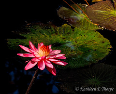 Water Lily Eureka Springs 032613