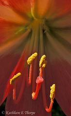 Amaryllis macro Eureka Springs 032613