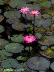 Water Lily Watercolor 2 Eureka Springs 032613