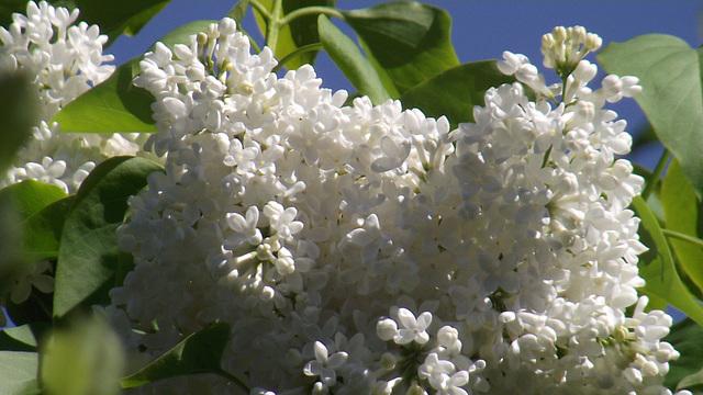 Gorgeous white lilac
