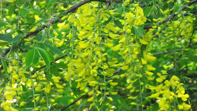 """My """"yellow rain"""" laburnham"""