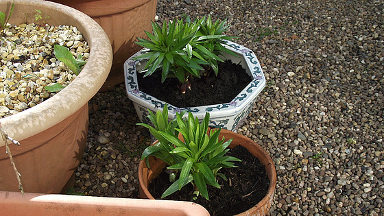 New lilies being potted out