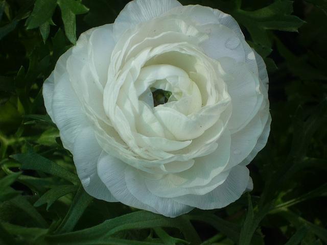Rosa blanca JJ