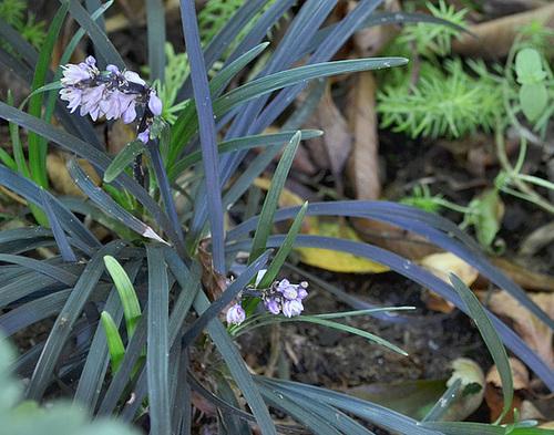 ophiopogon planiscapus nigrescent DSC 0174
