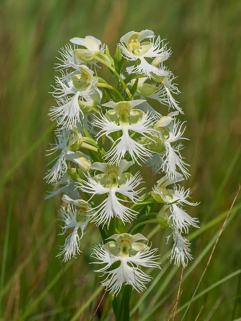 Platanthera praeclara (Western Prairie Fringed orchid)