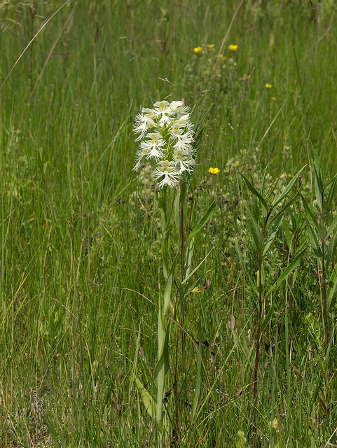 Platanthera praeclara (Western Prairie Fringed orchid) growing in the ditches
