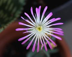 Delosperma floribundum de Tephro