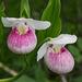 Cypripedium reginae (Showy Lady's-slipper orchid)