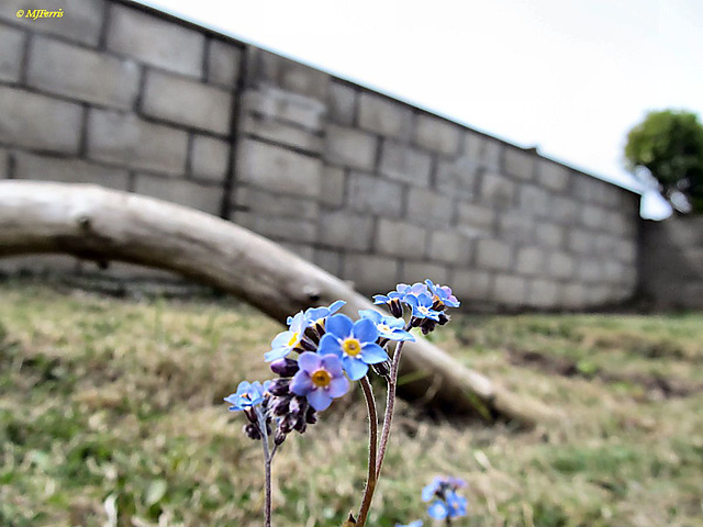05 forget me nots