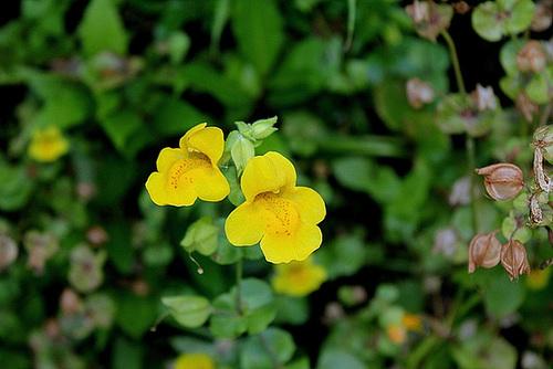 Mimulus guttatus - Murs végétaux