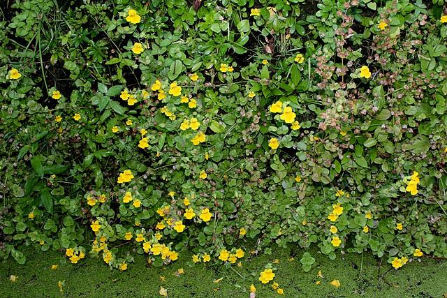 Mimulus guttatus - Murs végétaux (2)
