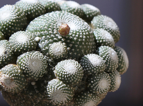 Blossefeldia sp.