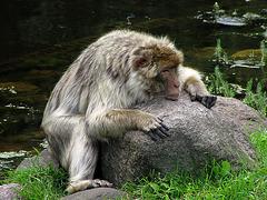 Affe auf dem Schleifstein