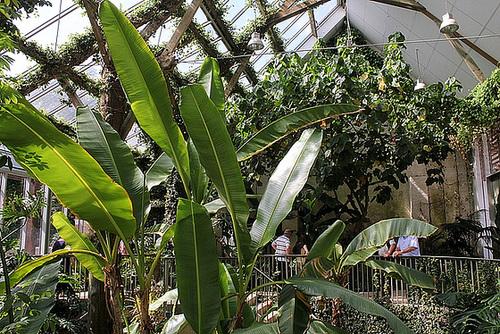 La serre avec bananiers ( Musa sikkimensis ) et Dombeya wallischi