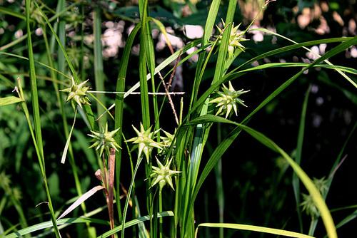 Carex grayi (3)