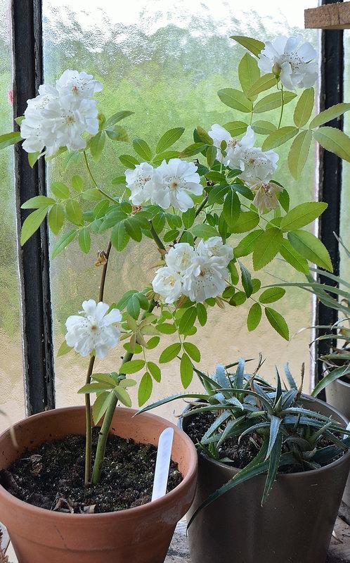 Rosa hybride banks 'purezza'