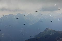Alpendohlen - Flugschau