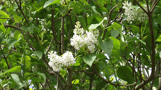 White lilac blooming