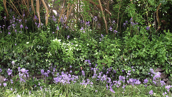 My bank of bluebells in amongst the lilac trees