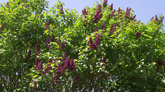 My dark purple lilacs