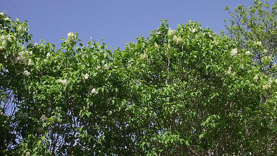 My white lilacs
