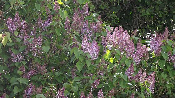 My pale lilac tree