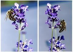 Bienen am Lavendel. ©UdoSm