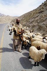 pakistani shepherd