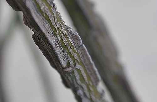 Euonymus alatus 'Compactus' DSC 0074