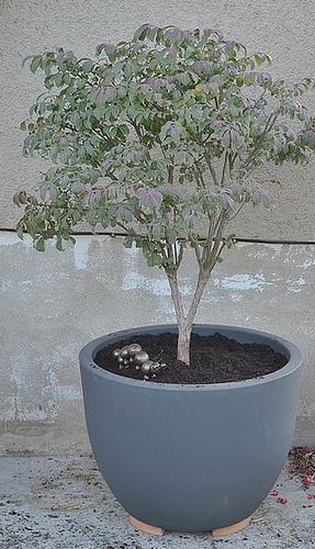 Euonymus alatus 'Compactus' DSC 0077