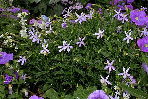 Solenopsis = Isotoma= Laurentia , axillaris