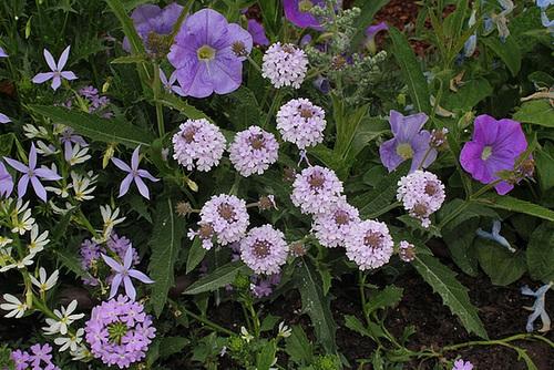 Verbena venosa= rugosa , hybride