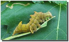 Chenille de Notodonta dromedarius