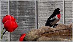 Red Breasted Grosbeak *