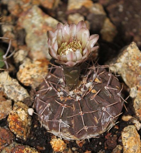 Gymnocalycium stellatum - occultum