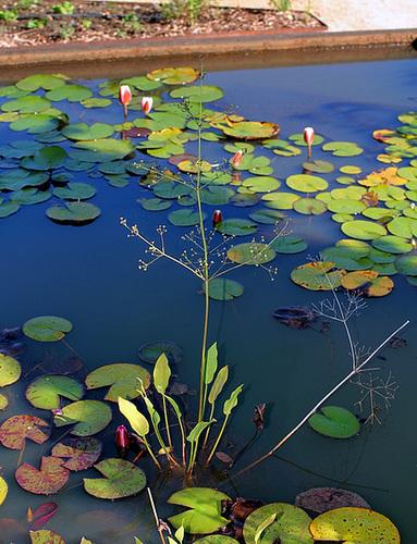 Alisma plantago-aquatica( Plantain d'eau)