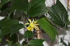 Passiflora citrina (3)