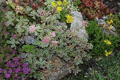 Sedum spurium tricolor (2)