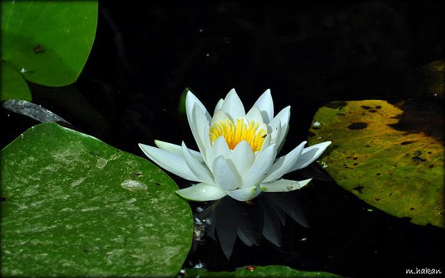 Flowers..Waterlily.