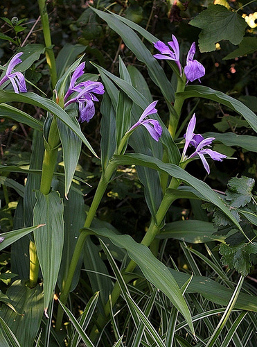 Roscoea purpurea (4)