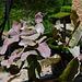 Rhipsalis oblonga ruber.. (2)